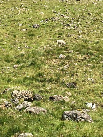 Schafe in der Landschaft
