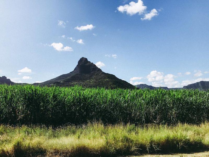 Zuckerrohrfelder auf Mauritius