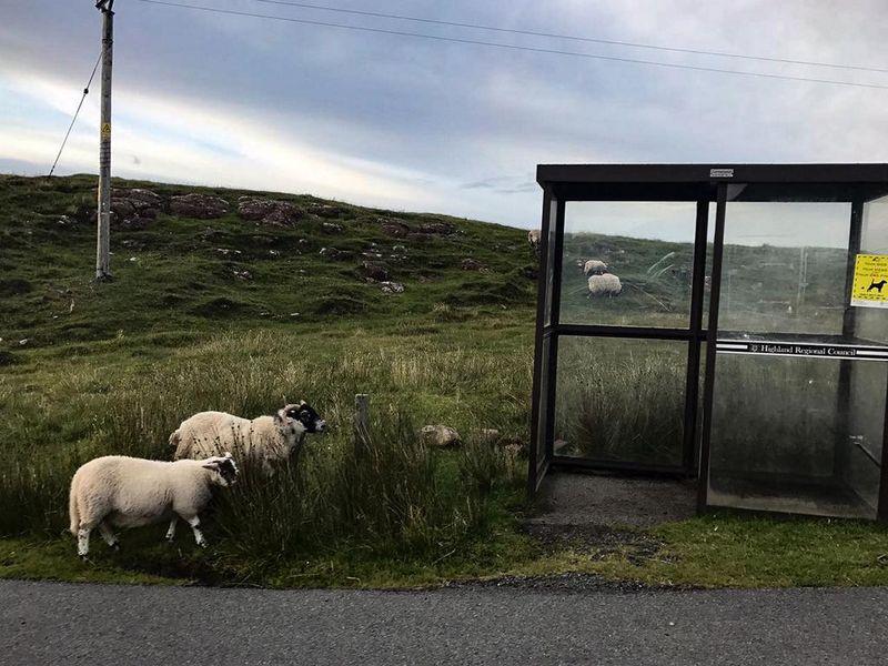 Sheeps on Isle Skye