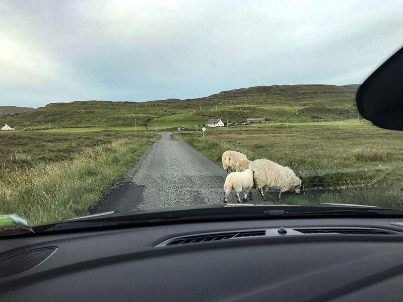 Schafe auf Isle of Skye
